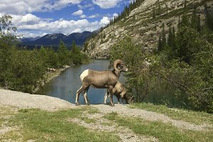 Bighorn sheep in the Rocky Mountains