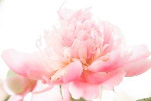 Macro Peony Spring Flower