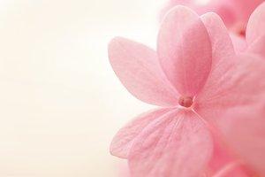 sweet pink hydrangeas