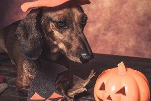 Dauchshund dog dresser for halloween