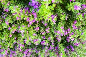 Lavender bushes, Chihuahua