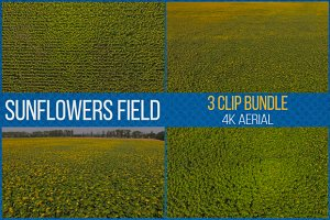 Sunflowers Field - 3 Video Footage