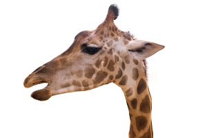 head giraffe isolate on white
