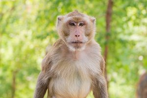Portrait of crab-eating macaque