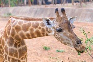 giraffe african mammal
