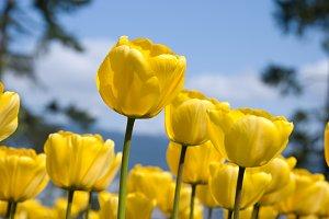 Beautiful Summer Tulips