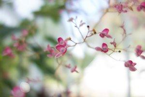 Beautiful Cherry Tree in Victoria