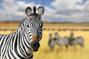 Zebra on savannah in Africa