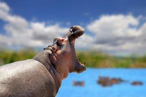 Hippo on savannah in Africa