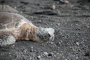 Turtle sleeping on a beach in Hawaii