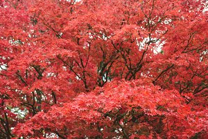 Autumn, red leaves