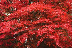 Autumn in a park, red maple tree