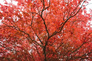 A beautiful red maple tree in autumn
