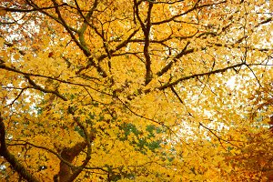 A maple tree in autumn colours