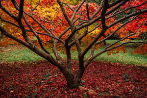 A maple tree in autumn colors