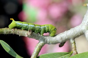 Image of green caterpillar.