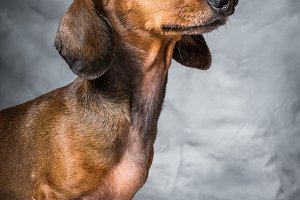 Dachshund dog in studio