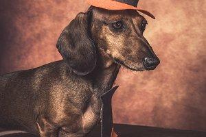 Dachshund dog dressed as halloween