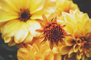FLORAL HERO DAHLIAS