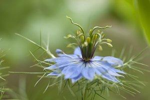 Love-in-a-mist flower