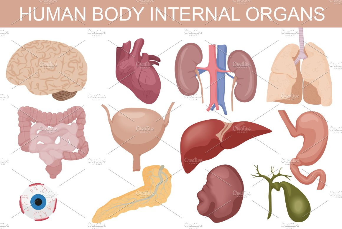Human Body Internal Organs Set Graphics Creative Market