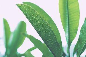 frangipani leaves