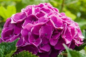Purple or pink hydrangea flowers