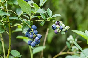 Ripe blueberries on the bush