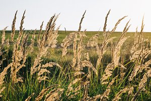 Wheat meadow at a sunset wiith beautiful light through spica