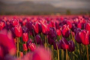 Sunset Tulip Fields