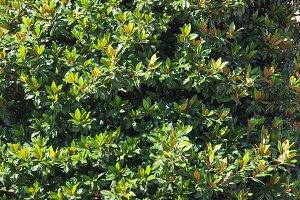Magnolia (Sweetbay) tree