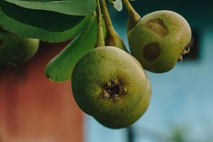 Pears in autumn