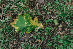 Oak autumn leaf and acorn