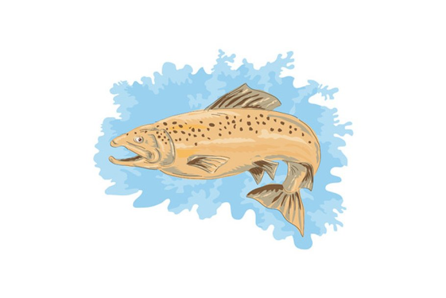 Trout Fish Jumping in Illustrations