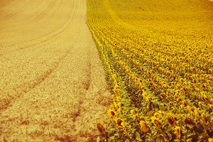 Cereal and Sunflowers Fields