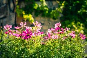 Blooming cosmos flowers