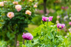 Pink poppies in a summer garden