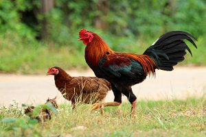 Image of rooster and hen.