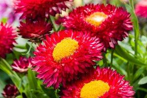 Strawflower plants