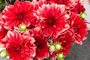 Blooming red dahlia flowers