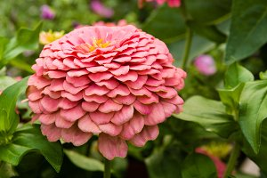 Zinnia plant with pink flower