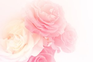 sweet pink roses in soft color style
