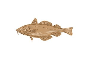 Atlantic Cod Codling Fish Drawing