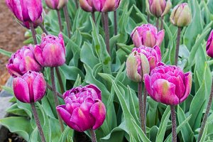 Spring flowering tulip bulbs