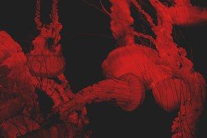 Blood Red Jellyfish