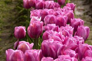 Pink Field Tulips