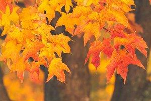 Fall leaves L