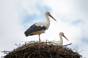 Storks in the nest