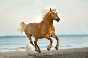Happy horse runs on a beach