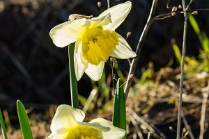 Daffodil flowers in bloom